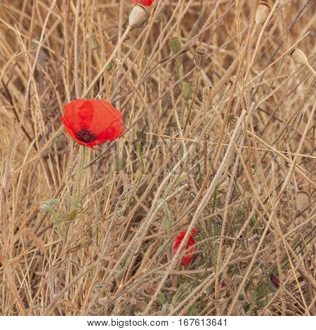 A square photo of a blooming red poppy flower in a field of dry grass, burnt by the sun, with copy space. The concept of overcoming difficulties
