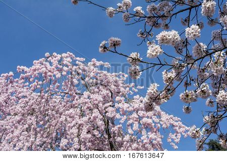 Yoshino cherry blossoms in front of weeping cherry blossoms under blue sky