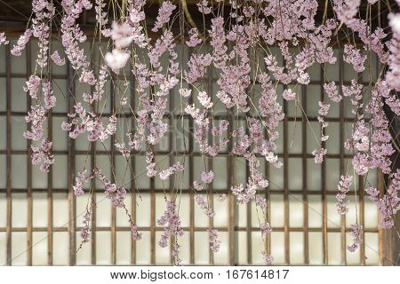 Lined weeping cherry blossoms in front of paper sliding door