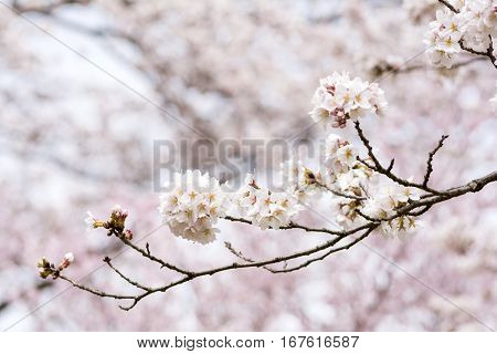 Yoshino cherry blossoms with sideways of branch