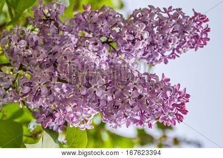 Purple lilac is the state flower of New Hampshire