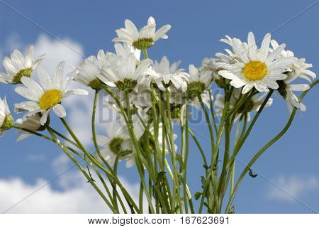 Chamomile flowers covered with water drops against the background of blue sky
