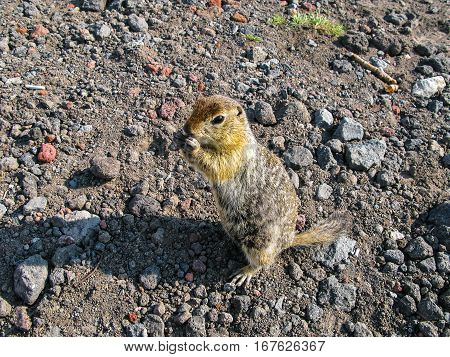 Standing and eating gopher on the ground Kamchatka Peninsula Russia