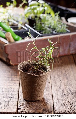 Seedlings of rosemary. Young herbs sprouts ready for planting. Gardening concept.