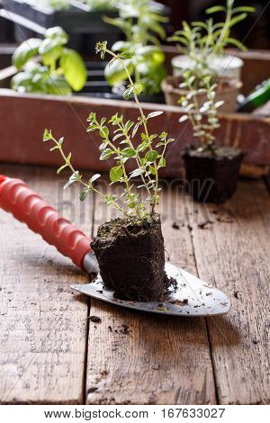 Seedlings of thyme. Young herbs sprouts ready for planting. Gardening concept.
