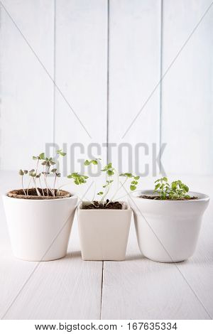 Three white flowerpots with small green sprouts of basil and mint.