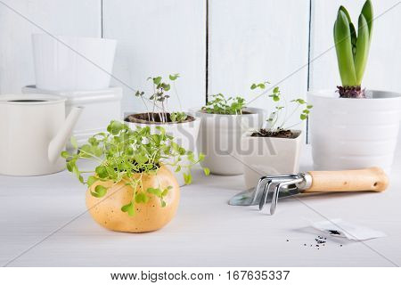 Small green sprouts of arugula. Garden tools and seeds.