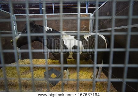 Afraid black and white pinto horse in a stable