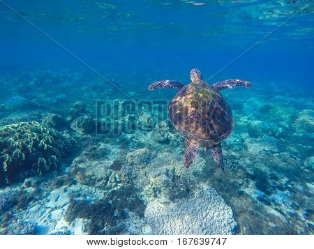 Sea turtle in blue water. Green turtle in coral reef. Blue sea and lovely sea animal. Snorkeling and diving with sea turtle. Sea turtle swimming underwater photo for background with place for text.