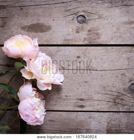 Fresh pink peonies flowers on vintage wooden background. Flat lay. Place for text. Selective focus. Floral still life. Square image.