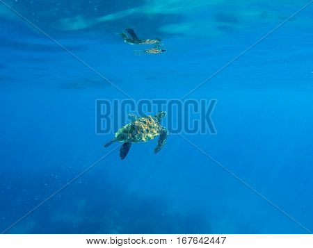 Green sea turtle in blue water. Green turtle swimming in blue sea. Ocean animal living underwater. Dive spot with turtles. Sea turtle close to water surface. Big green turtle travelling in ocean water