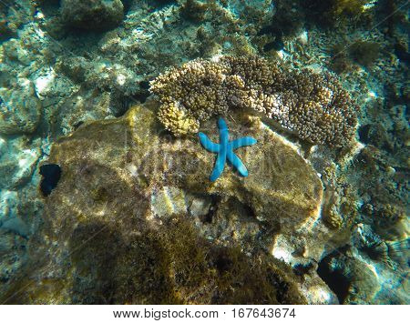 Blue starfish on coral reef. Sunny sea bottom in tropical lagoon. Five tentacles star fish. Exotic starfish on grey coral. Underwater photo of marine animal. Oceanic landscape near tropical island
