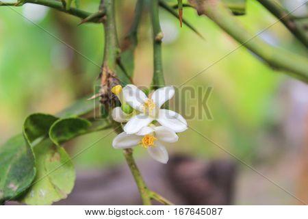 lemon flowers with green leaves in the garden