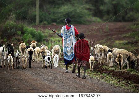 Mombasa Kenya - January 01 2017: Kenyan family Masai herding goats. Mombasa Kenya