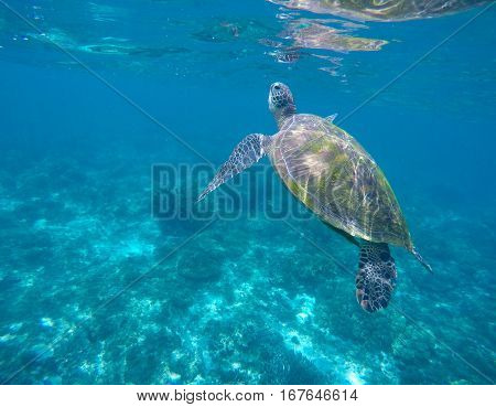 Marine green turtle in aqua blue water. Tropical sea animal. Underwater photo of big sea turtle. Lovely marine animal close-up. Snorkeling in exotic seashore.Beautiful oceanic world banner template.