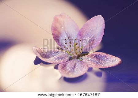 Close-up Tender Pink Flower Floating On Water With Drops On Petals