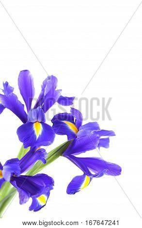 Bouquet Of Beautiful Irises Isolated On White Background