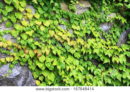 Photo of the old wall covered by green ivy