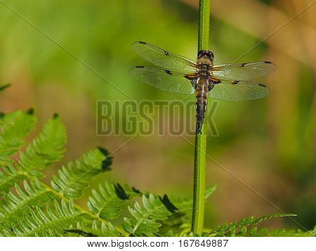 Dragonfly resting on a stick, green background