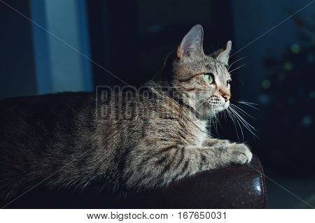 Beautiful cat on a dark background in the studio