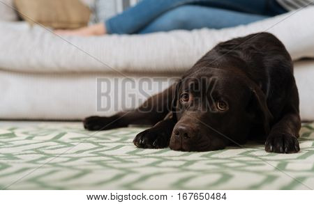 Hanging nearby. Sweet cute brown dog lying on a bright carpet near a sofa on which his lady sitting during her free time
