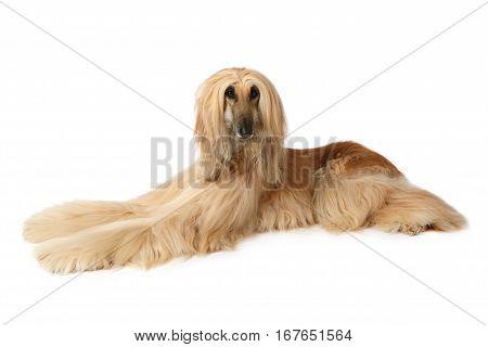 Thoroughbred dog Afghan hound lying on a white background