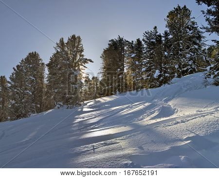 Siberian cedar forest, snowy winter, the shade of trees. Panorama HDR.