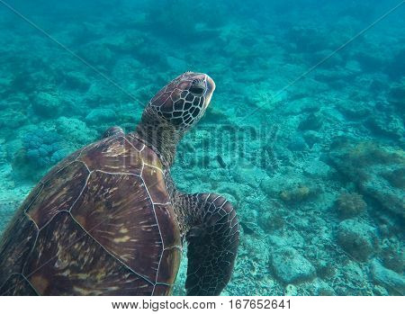 Sea turtle in blue water closeup. Head and shell of green turtle in wild nature. Tropical sea animal. Underwater photo of big sea turtle. Lovely marine animal close-up. Snorkeling in exotic seashore