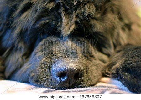 Close up of cute  black Newfoundland dog.