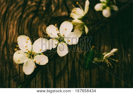 blooming branch on old wooden grunge background tinted photo in low key