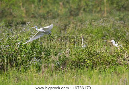 Image of egret flying on nature background. Heron. Wild Animals.