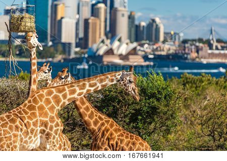Adorable Giraffes With Sydney Opera House And Sydney Cbd View