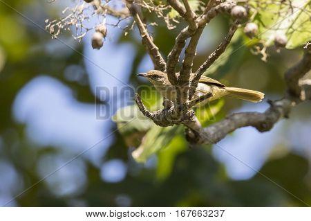 Image of bird on the branch. (Streak-eared Bulbul; Pycnonotus blanfordi)