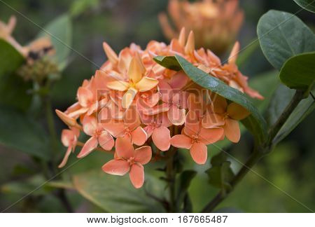 Orange flowers in the garden. Tropical flower Ixora in jungle. Closeup photo of blooming orange Ixora. Exotic botanical garden. Romantic floral decor or summer background. Beautiful blossom of tropics