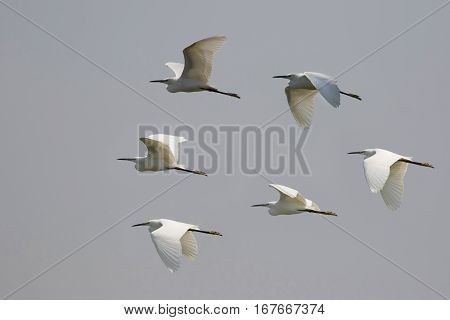 Image of flock egret flying in the sky. Heron. Wild Animals.