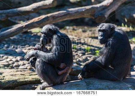 Chimpanzee Family With Baby Relaxing On Sunny Day