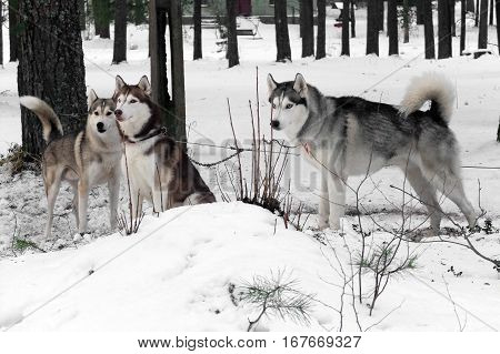 Graceful working Husky sled tandem. Siberian dogs driven sleigh people in the North. Animals active dog sports at work in the winter.