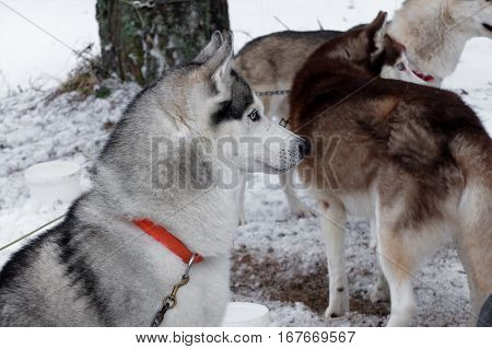Husky sled similar to a wolf at rest in winter. Sports sled dog race. Strong hardy Siberian dogs. Energetic Pets run and compete.