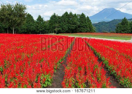 Salvia field