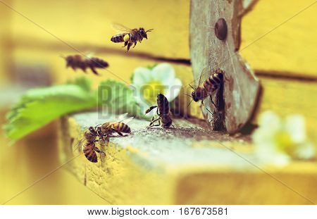 Bees fly in hive. White flowers of strawberry. Green leaf.