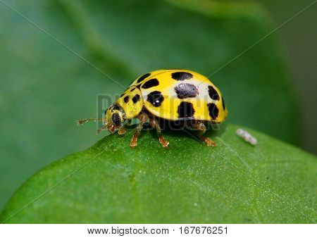 Yellow lady bug with black spots on green leaf