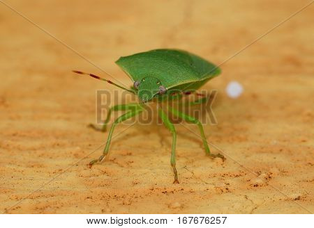Green stink bug resting on yellow background