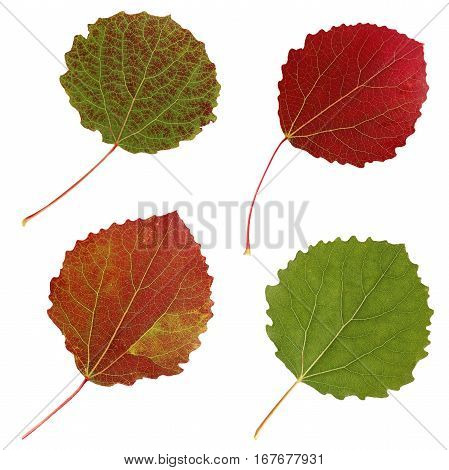 aspen leaves isolated on white background. set of autumn leaves.