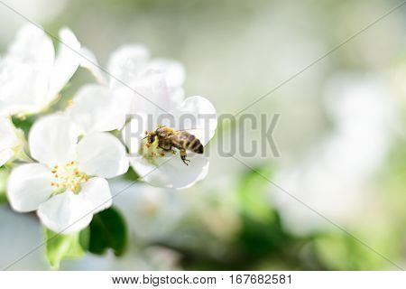 Nature background. Honeybee and white apple flowers.
