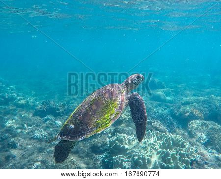 Sea turtle in blue water. Green sea turtle swimming in the ocean. Image of rare marine animal - green turtle. Green turtle in coral reef. Blue sea and sea animal. Snorkeling and diving with sea turtle