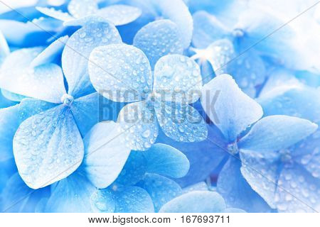 Light soft blue Hydrangea (Hydrangea macrophylla) or Hortensia flower with dew with light coming in.  Shallow depth of field for dreamy feel.