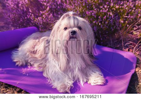 Shih tzu dog lying on mat outdoors. Soft pink flower on background and color tinting.