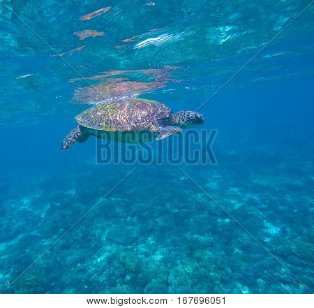 Sea turtle in blue water green turtle swimming rare marine species turtle animal in sea shot ocean life near coral reef sea turtle underwater photo beautiful sea animal snorkeling with turtles