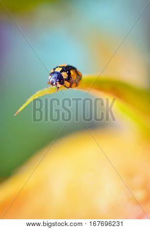 Details of ladybug on spring flowers, close up