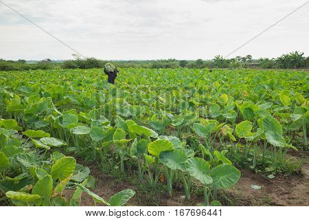 Indian Taro Plots On Agriculture Field In Suburbs Of Hanoi, Vietnam